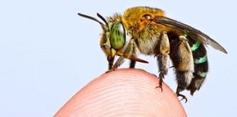 Pesquisadores criam mapa global de espécies de abelhas para evitar extinção