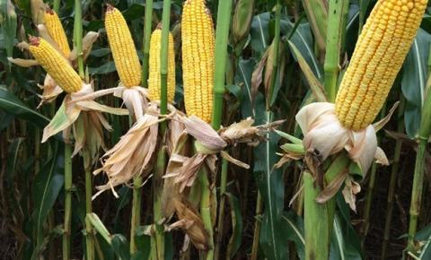 Bayer lança dois novos híbridos de milho com foco no mercado de alta produtividade da região sul do país