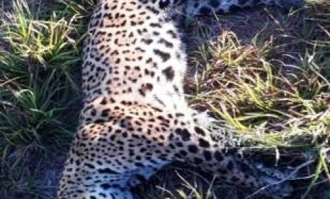 Onça de 70 quilos morre atropelada na região de Miranda