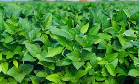 Bayer lança Intacta 2 Xtend®️, nova geração de soja que busca revolucionar o potencial produtivo do Brasil