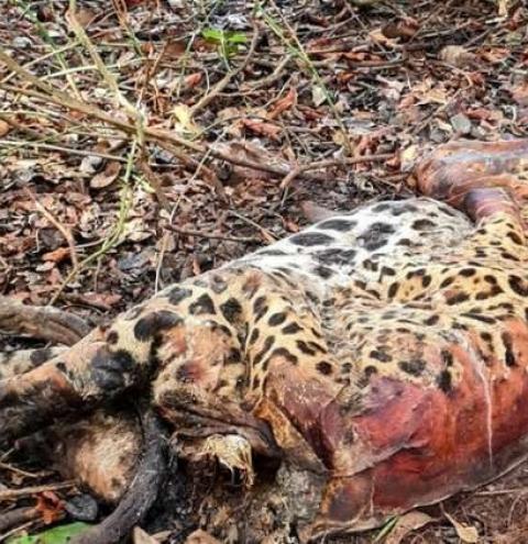Mortes de animais no Pantanal é alvo de investigação da Polícia Federal
